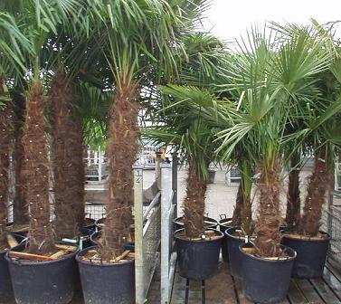 Wintervaste palm